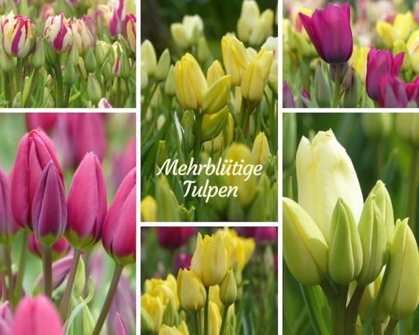 Mehrblütige Tulpen