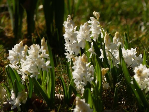 Weiße Puschkinie - Puschkinia scilloides var. libanotica 'Alba'