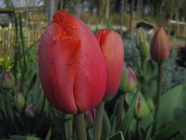 Tulpe Parade