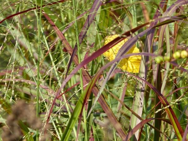 Rutenhirse - Panicum virgatum 'Shenandoah' - schönes Laub