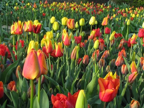Tulpen im Angebot in gelb, orange und rot