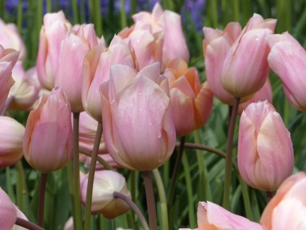 Tulpe Apricot Beauty