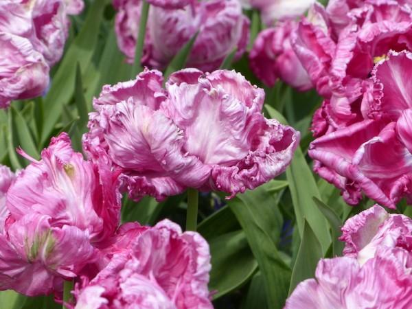 Tulpe Rai