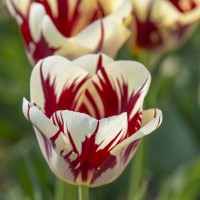 Tulpe Grand Perfection