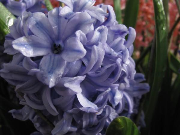 Hyazinthe 'Delfts Blauw'