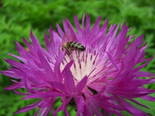 Flockenblumen werden gerne von Insekten besucht.