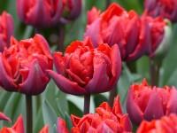 Tulpe Red Princess