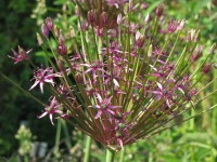 Allium 'Toabago' ('Spider')