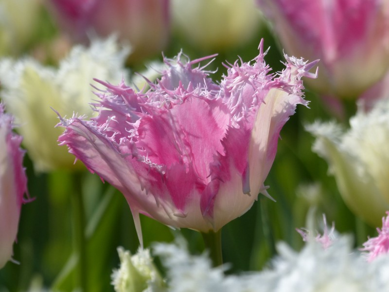 Blumenzwiebeln Tulpe