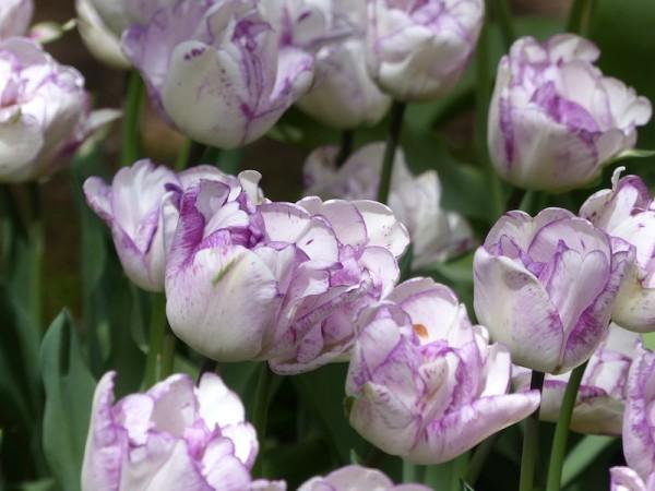 Tulpe Shirley Double