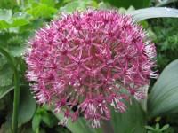 Allium Red Giant Star