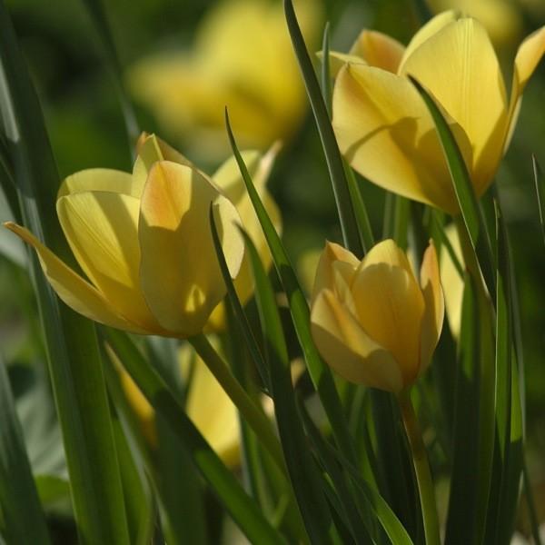 Tulpe Bright Gem