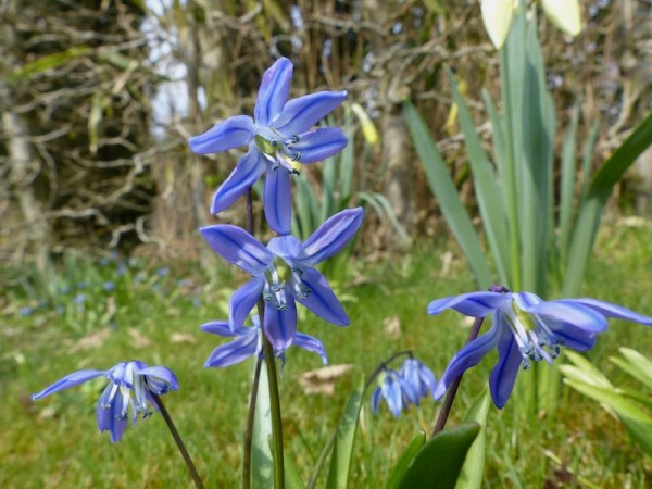Scilla Spring Beauty