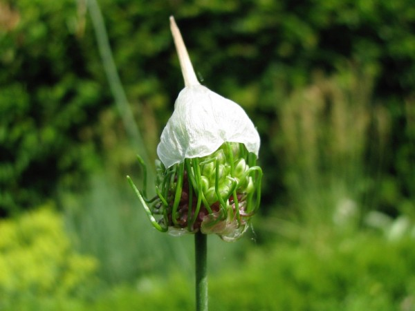 Allium Bizar Knospe