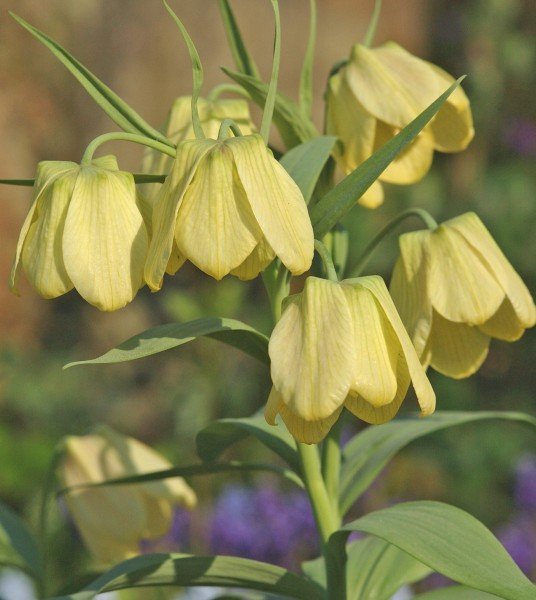 Fritillaria pallidiflora 3 Stück