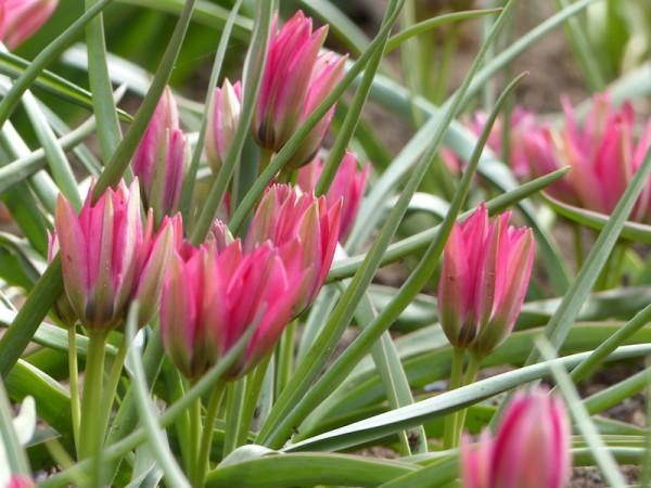 Tulpe Little Beauty