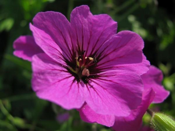 Armenischer Storchschnabel - Geranium psilostemon 'Patricia'