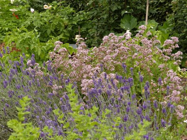 Lavendel - Lavandula angustifolia 'Hidcote Blue'