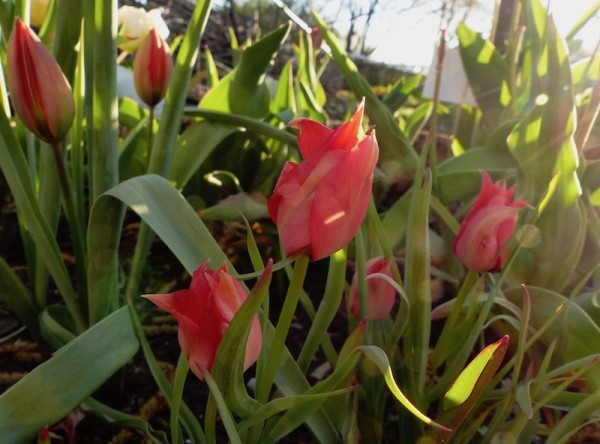 Tulpe Red Jewel