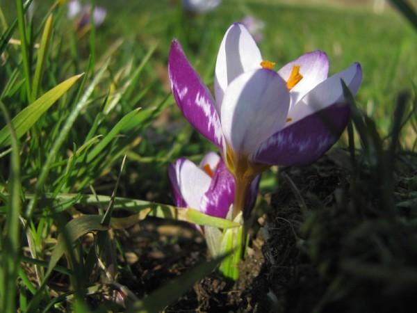 Crocus chrysanthus 'Eyecatcher' 5 Stück