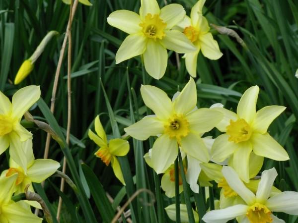 Narcissus barrii conspicuus