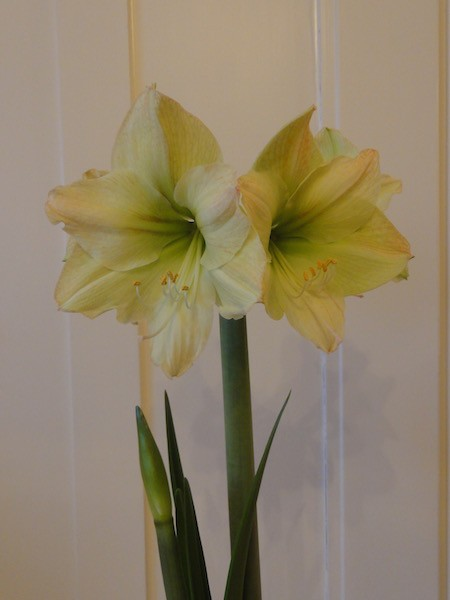Amaryllis Lemon Lime