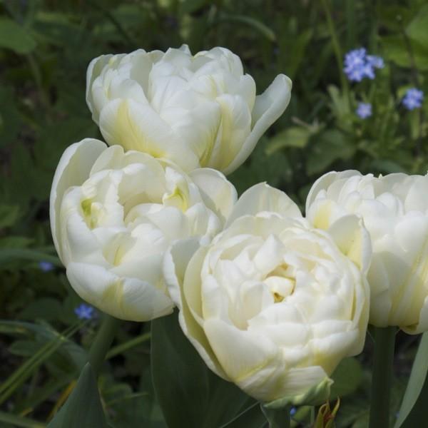 Tulpe Schoonoord