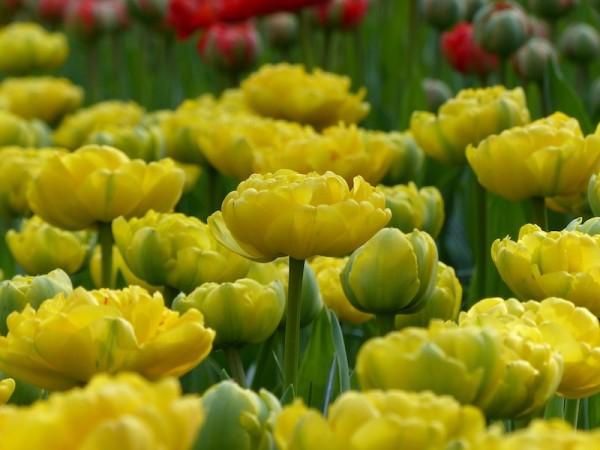 Tulpe Yellow Pomponette
