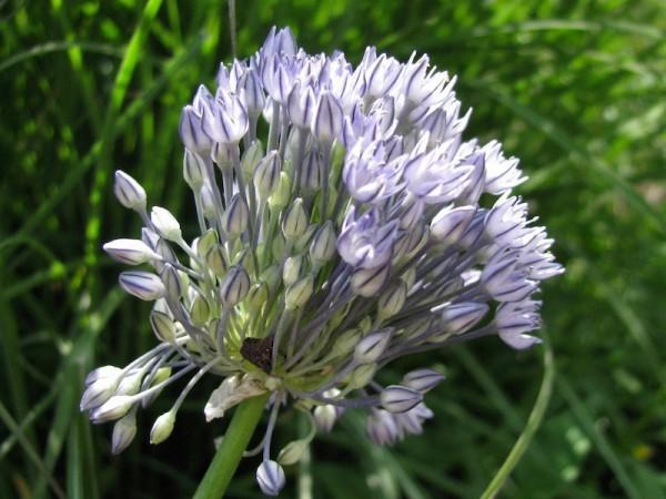 Allium caesium