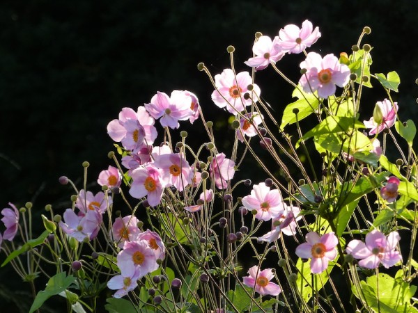 Japan-Anemone - Anemone japonica 'September Charme'