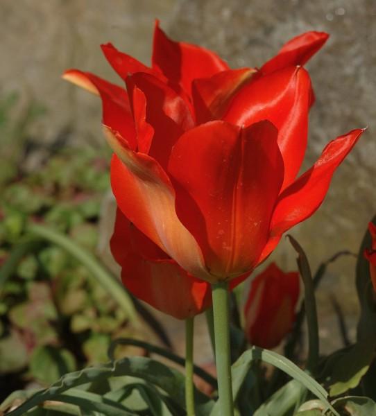 Tulipa vvedenskyi Tangerine Beauty