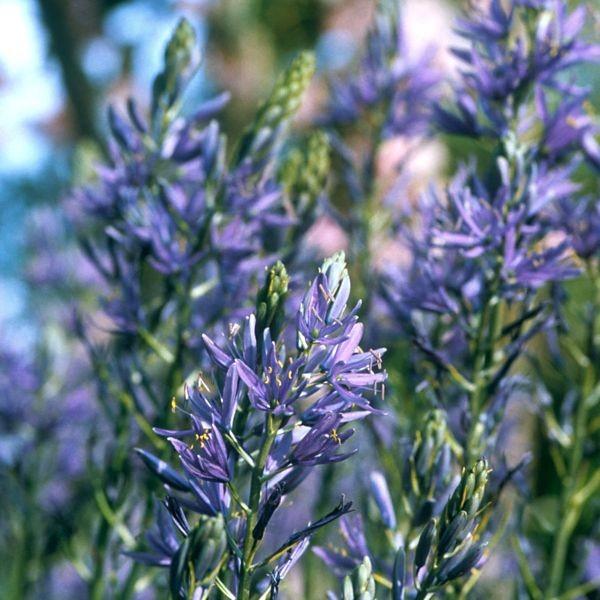 Präriekerze Blau 12 Stück