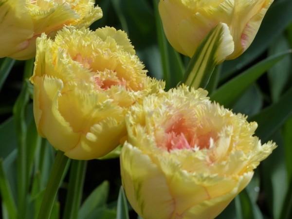 Tulpe Vaja con Dios