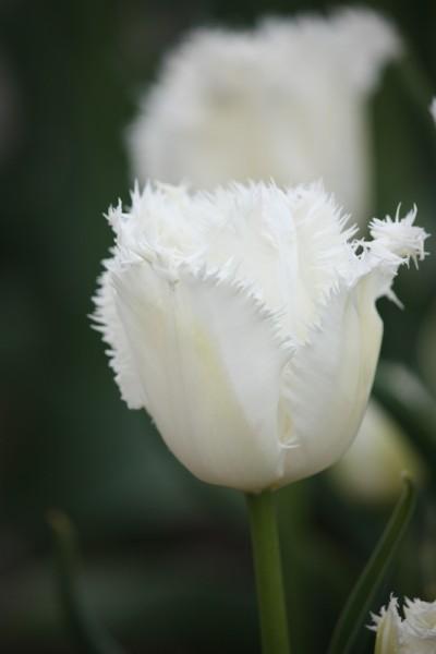 Tulpe Honeymoon