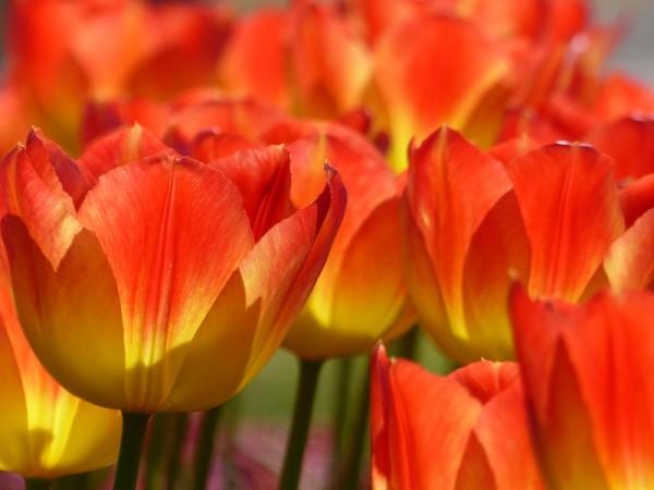 Tulpe Suncatcher