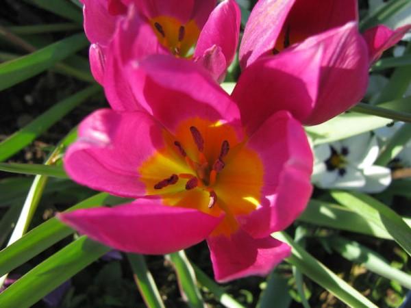 Tulpe Eastern Star