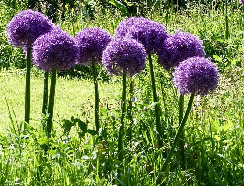 Blumenzwiebel Allium