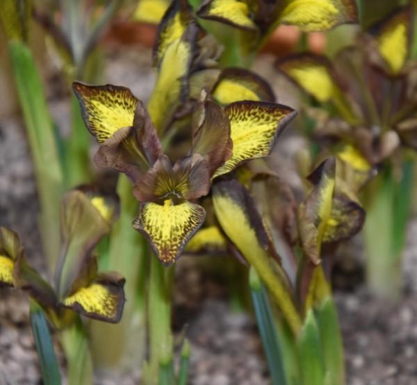 Iris reticulata 'Mars Landing'