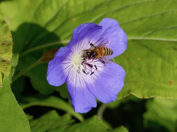 Storchschnabel, Geranium wallichianum 'Rozanne'