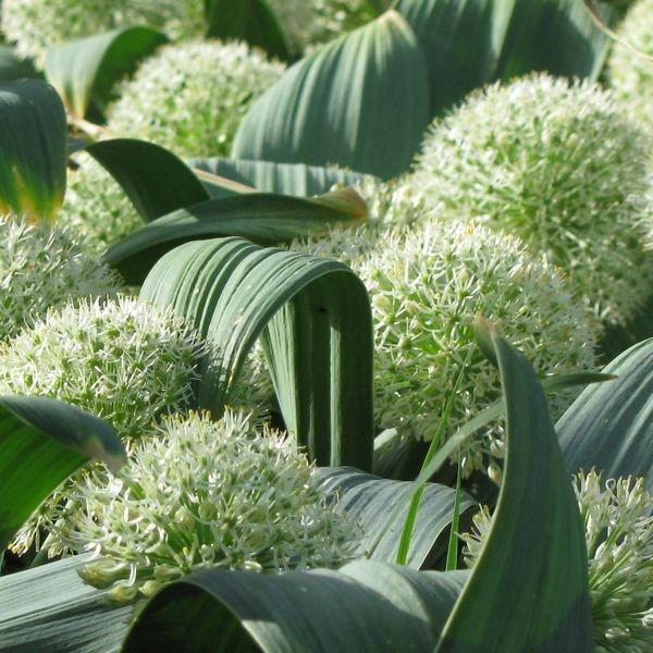 Allium karataviense 'Ivory Queen' 5 Stück