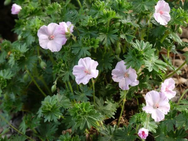 Storchschnabel - Geranium sanguineum 'Apfelblüte'