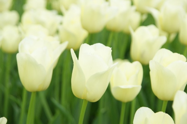 Tulpe City of Vancouver
