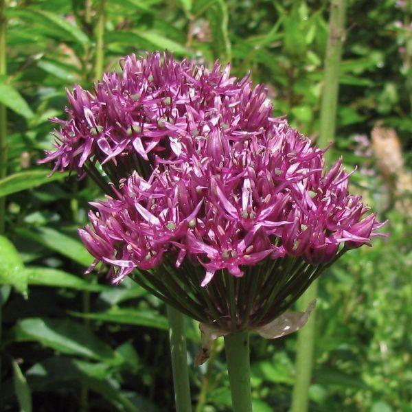 Allium 'Firmament' 3 Stück