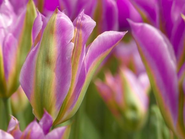 Tulpe Violet Bird