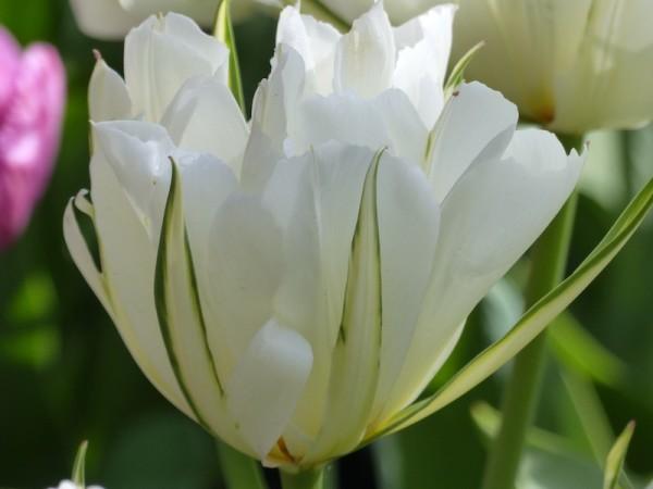 Tulpe Exotic Emperor
