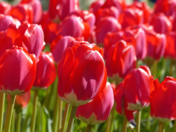 Tulpe Spring Song