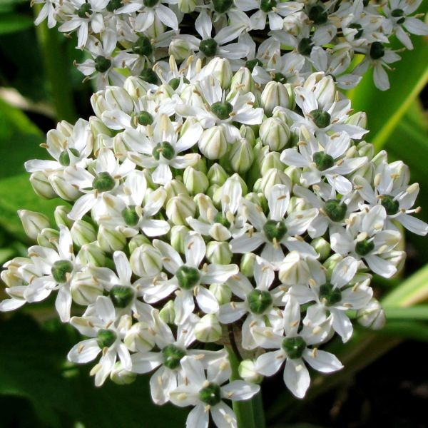 Allium nigrum 10 Stück