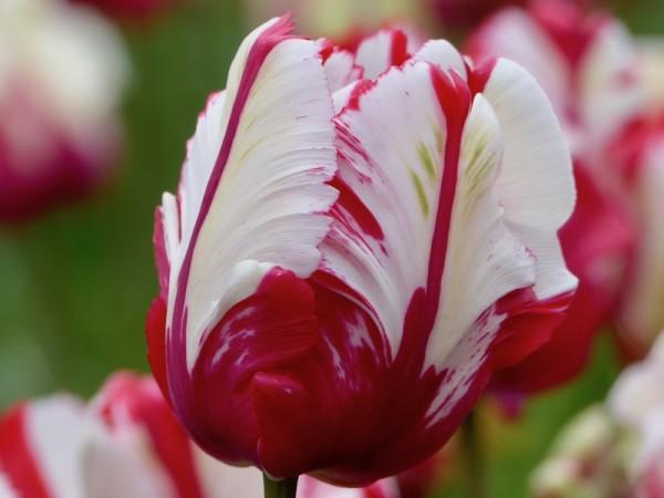 Tulpe Estelle Rijnveld