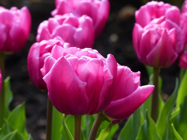 Tulpe Double Princess