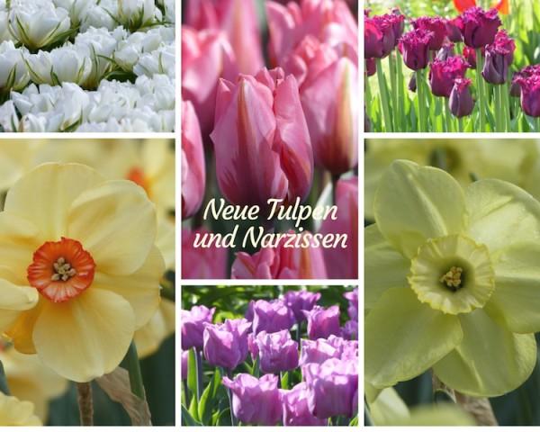 Tulpen Narzissen Neuheiten